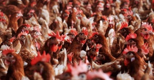 БАБХ иска да унищожи втората по големина птицеферма у нас
